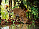 Clementoni Casse-tête 2000 léopard 8005125325375
