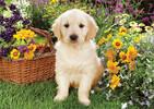 Trefl Casse-tête 500 chiot Labrador dans le jardin Trefl 37160 5900511371604