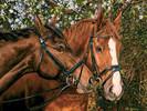 Cobble Hill Casse-tête 275 Amis pour toujours, chevaux 625012543460